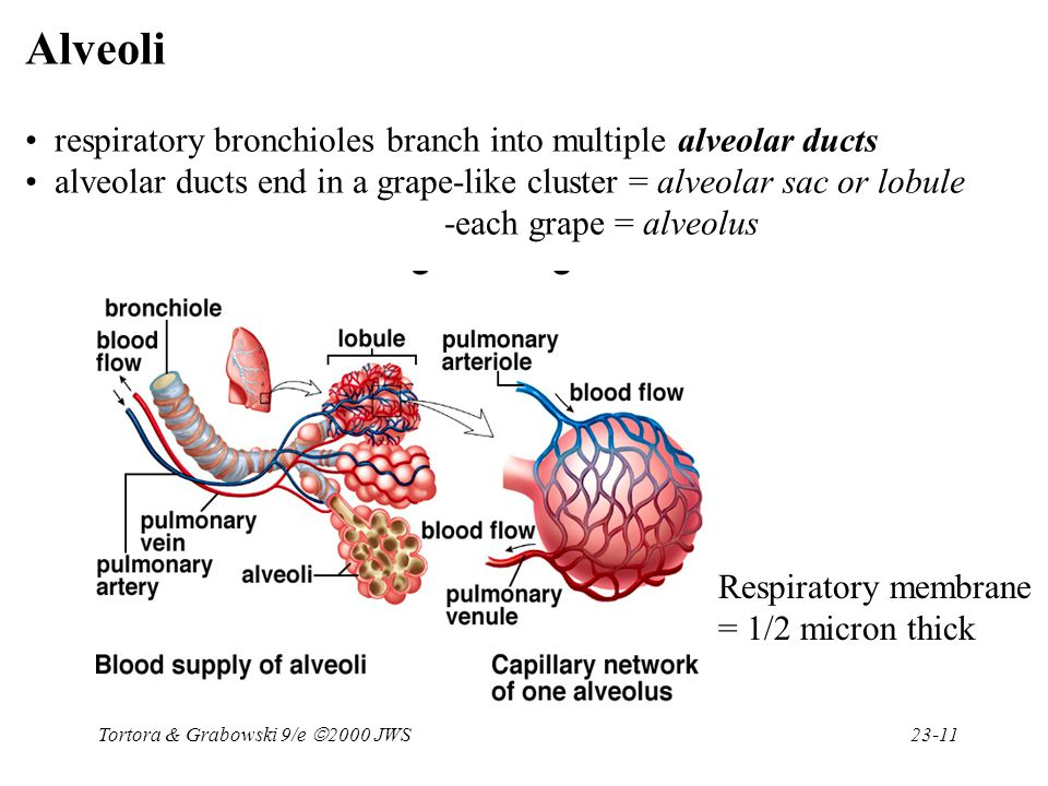 Alveoli respiratory bronchioles branch into multiple alveolar ducts