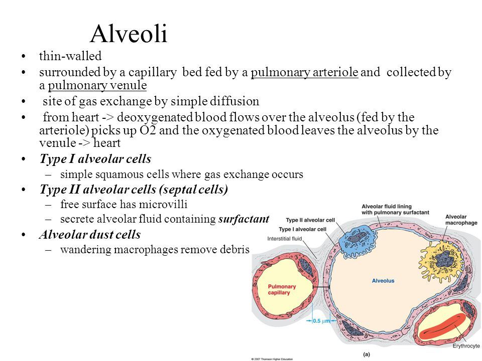Alveoli thin-walled. surrounded by a capillary bed fed by a pulmonary arteriole and collected by a pulmonary venule.