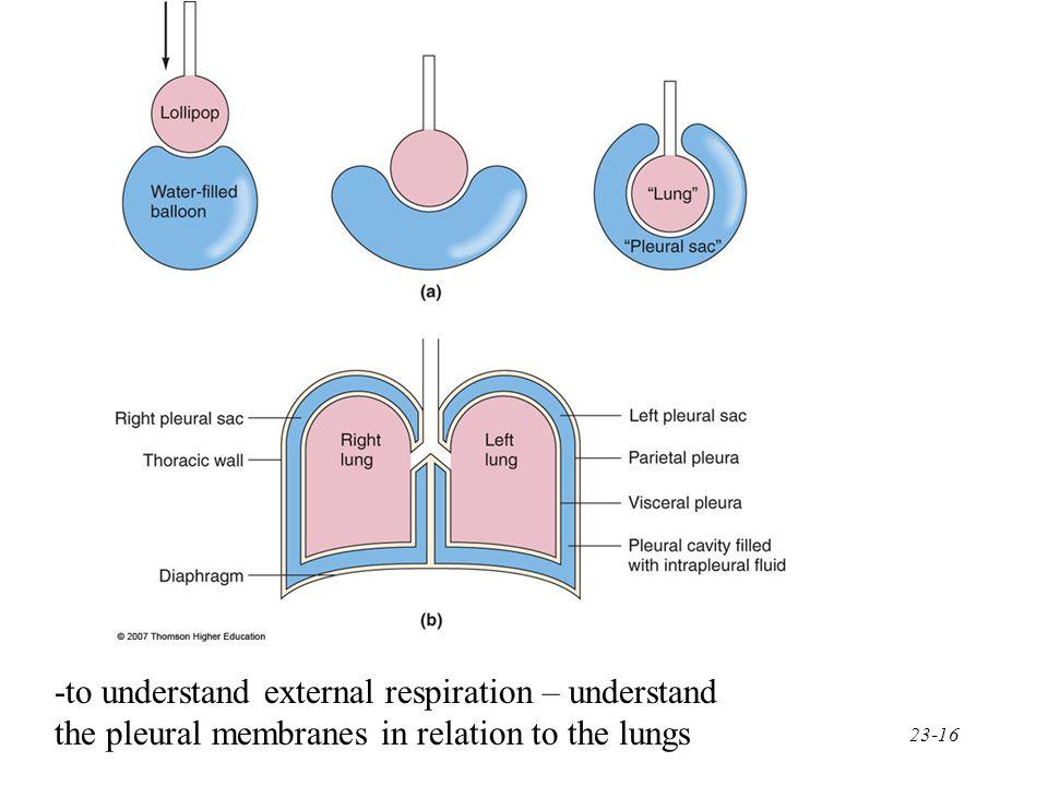 -to understand external respiration – understand
