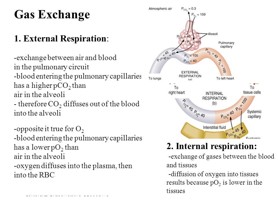 Gas Exchange 1. External Respiration: 2. Internal respiration: