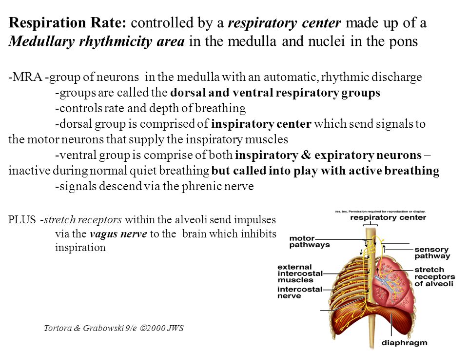 Respiration Rate: controlled by a respiratory center made up of a