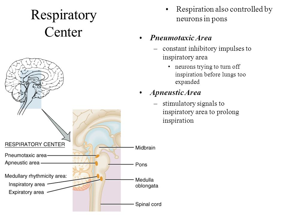 Respiratory Center Respiration also controlled by neurons in pons