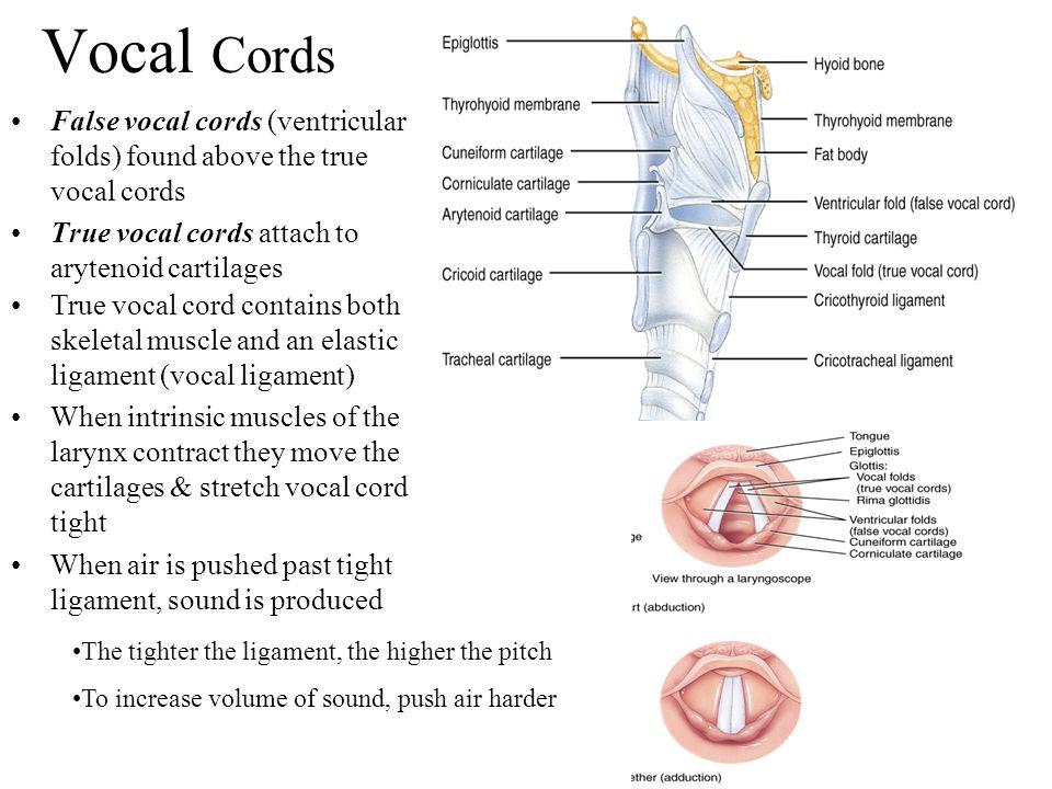 Vocal Cords False vocal cords (ventricular folds) found above the true vocal cords. True vocal cords attach to arytenoid cartilages.