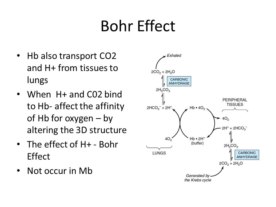 Bohr Effect Hb also transport CO2 and H+ from tissues to lungs