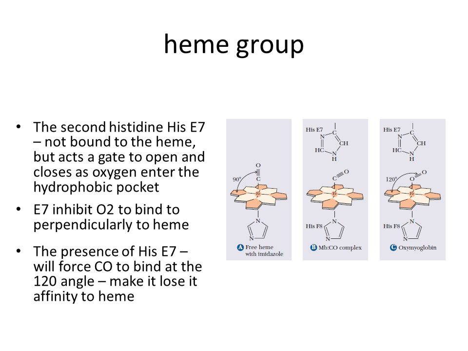 heme group The second histidine His E7 – not bound to the heme, but acts a gate to open and closes as oxygen enter the hydrophobic pocket.