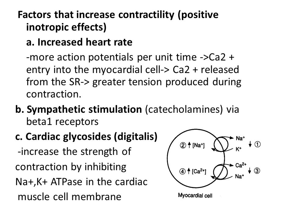 Factors that increase contractility (positive inotropic effects)