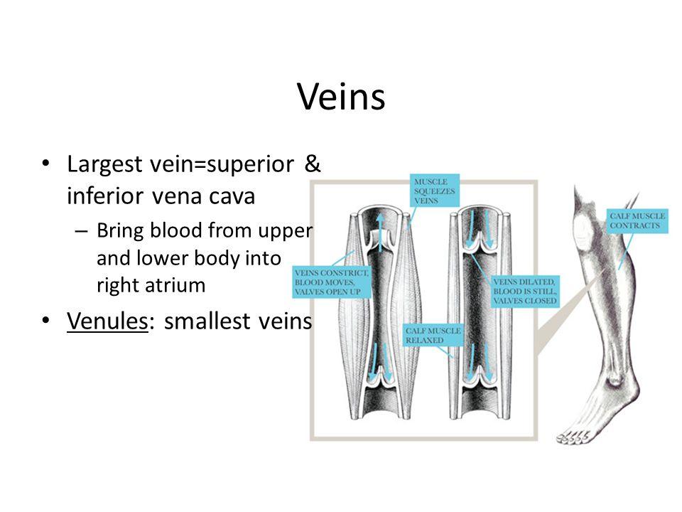 Veins Largest vein=superior & inferior vena cava
