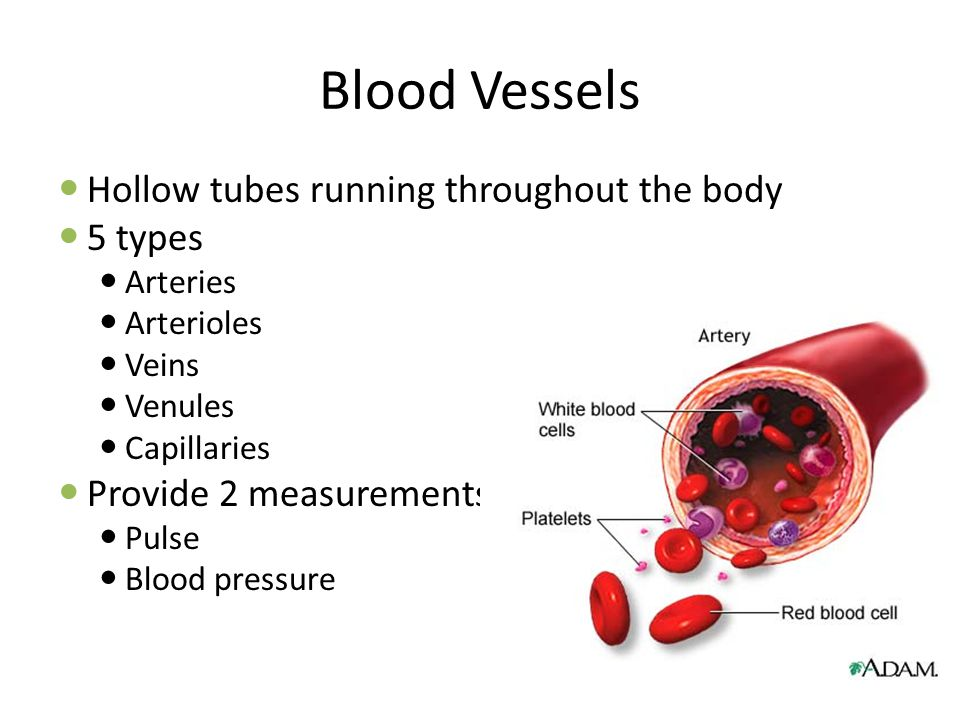 Blood Vessels Hollow tubes running throughout the body 5 types