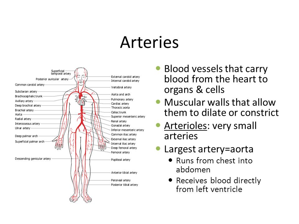 Arteries Blood vessels that carry blood from the heart to organs & cells. Muscular walls that allow them to dilate or constrict.