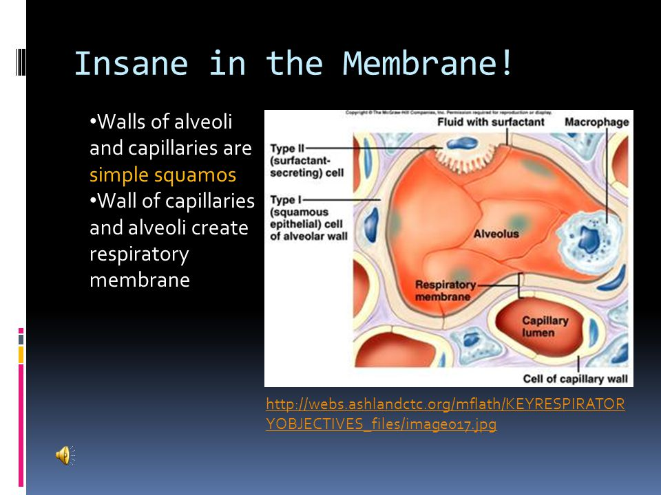 Insane in the Membrane! Walls of alveoli and capillaries are simple squamos. Wall of capillaries and alveoli create respiratory membrane.