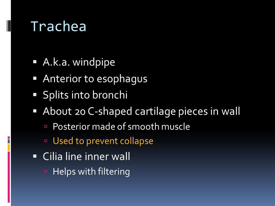 Trachea A.k.a. windpipe Anterior to esophagus Splits into bronchi