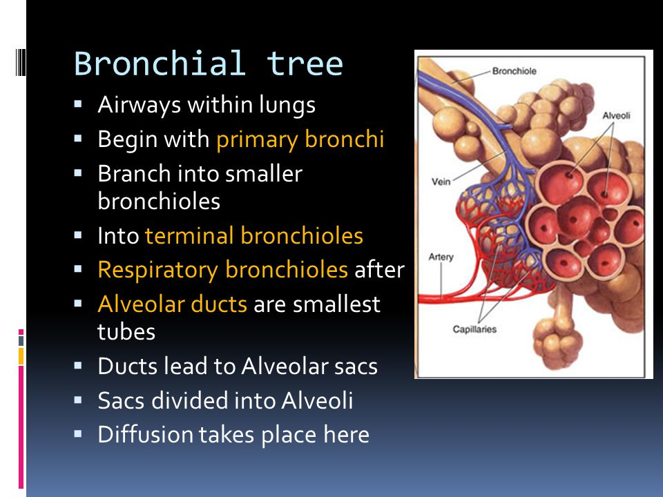 Bronchial tree Airways within lungs Begin with primary bronchi