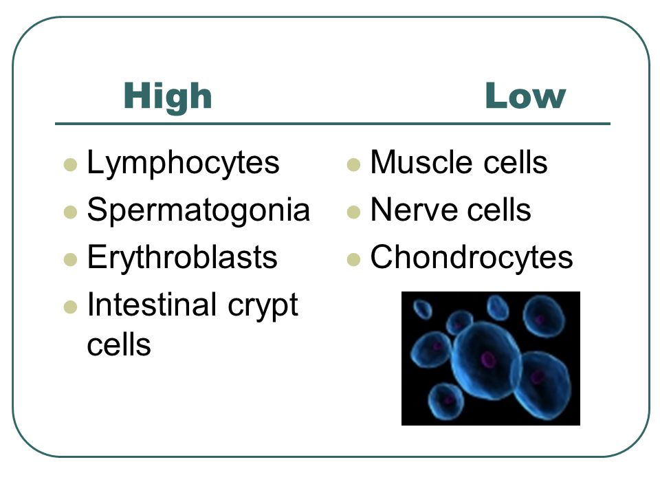 Intestinal crypt cells Muscle cells Nerve cells Chondrocytes