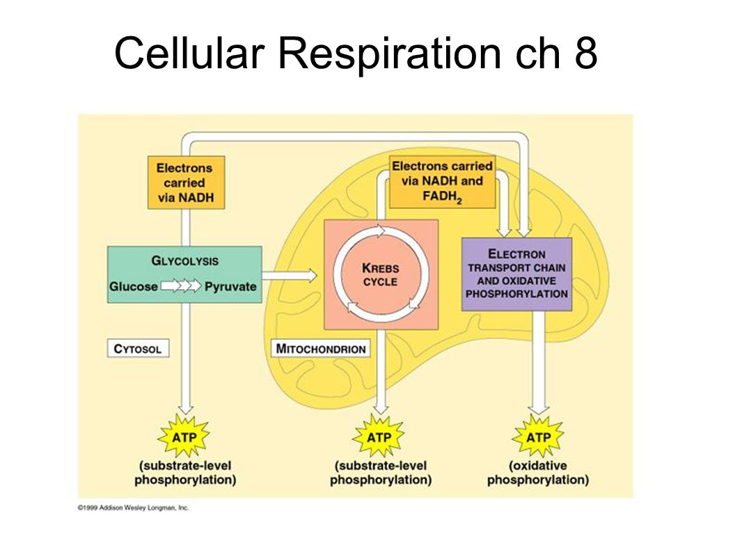 Cellular Respiration ch 8