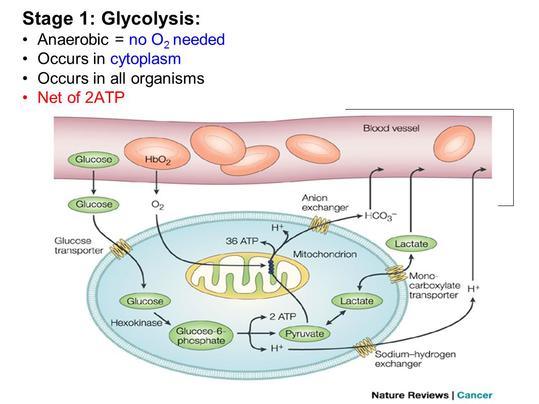 Stage 1: Glycolysis: Products: 2 ATP 2 NADH 2 Pyruvic Acids