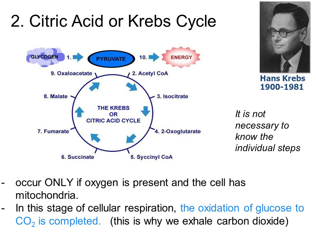 2. Citric Acid or Krebs Cycle
