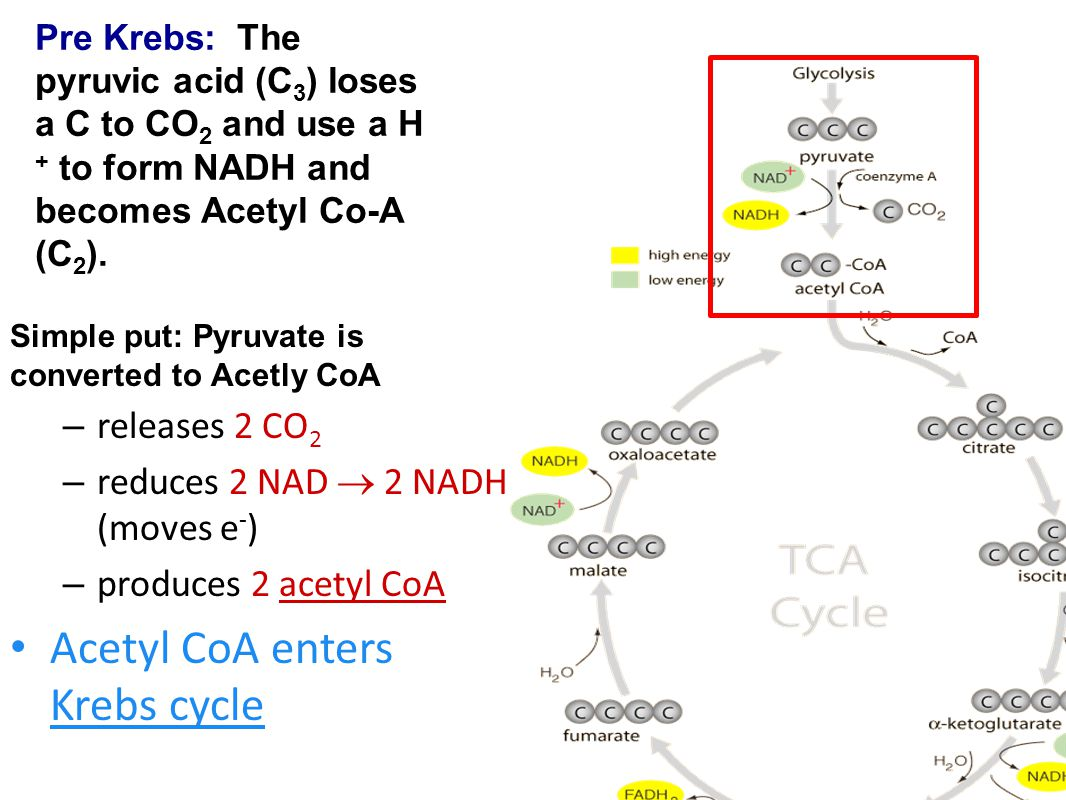 Acetyl CoA enters Krebs cycle