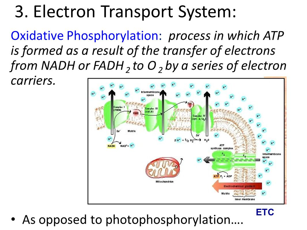 3. Electron Transport System: