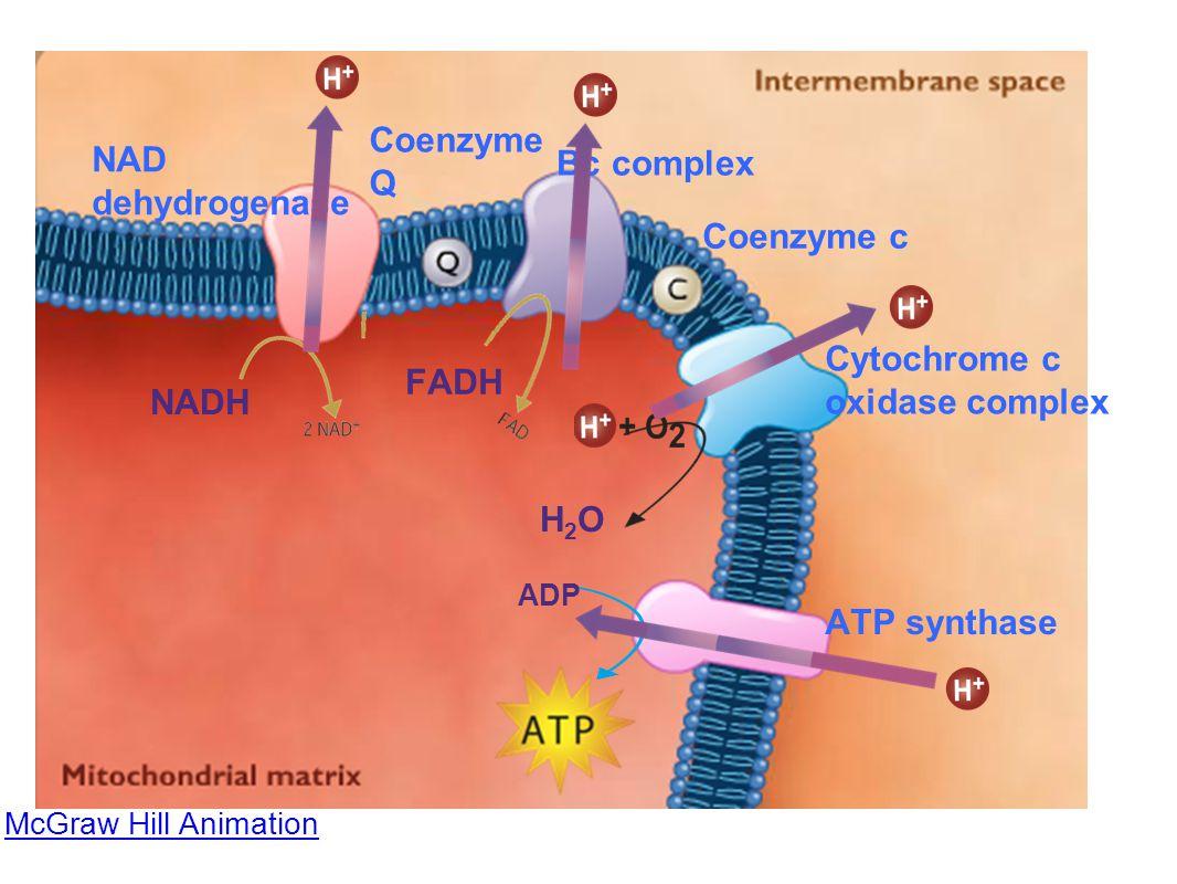 Cytochrome c oxidase complex FADH NADH