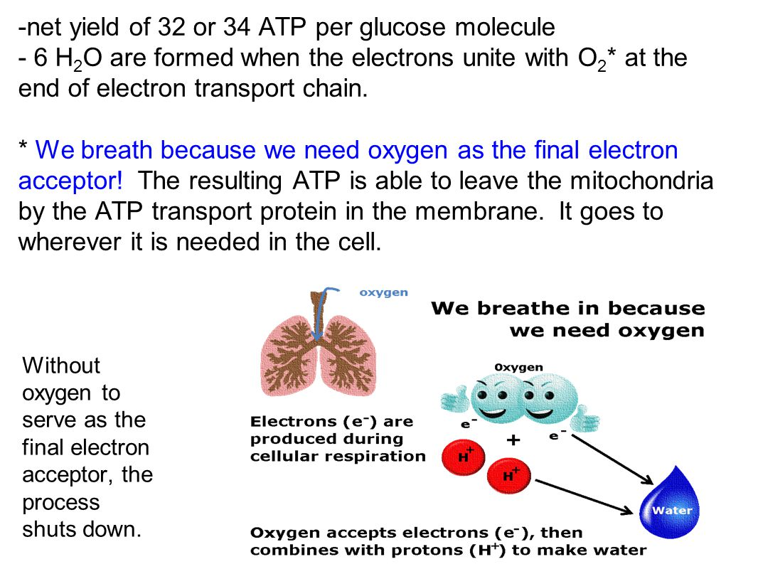 -net yield of 32 or 34 ATP per glucose molecule