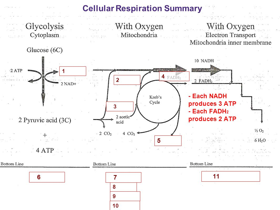 Cellular Respiration Summary