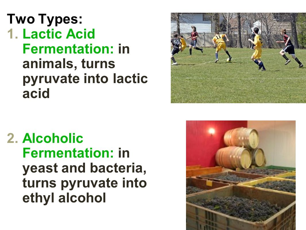 Two Types: Lactic Acid Fermentation: in animals, turns pyruvate into lactic acid.