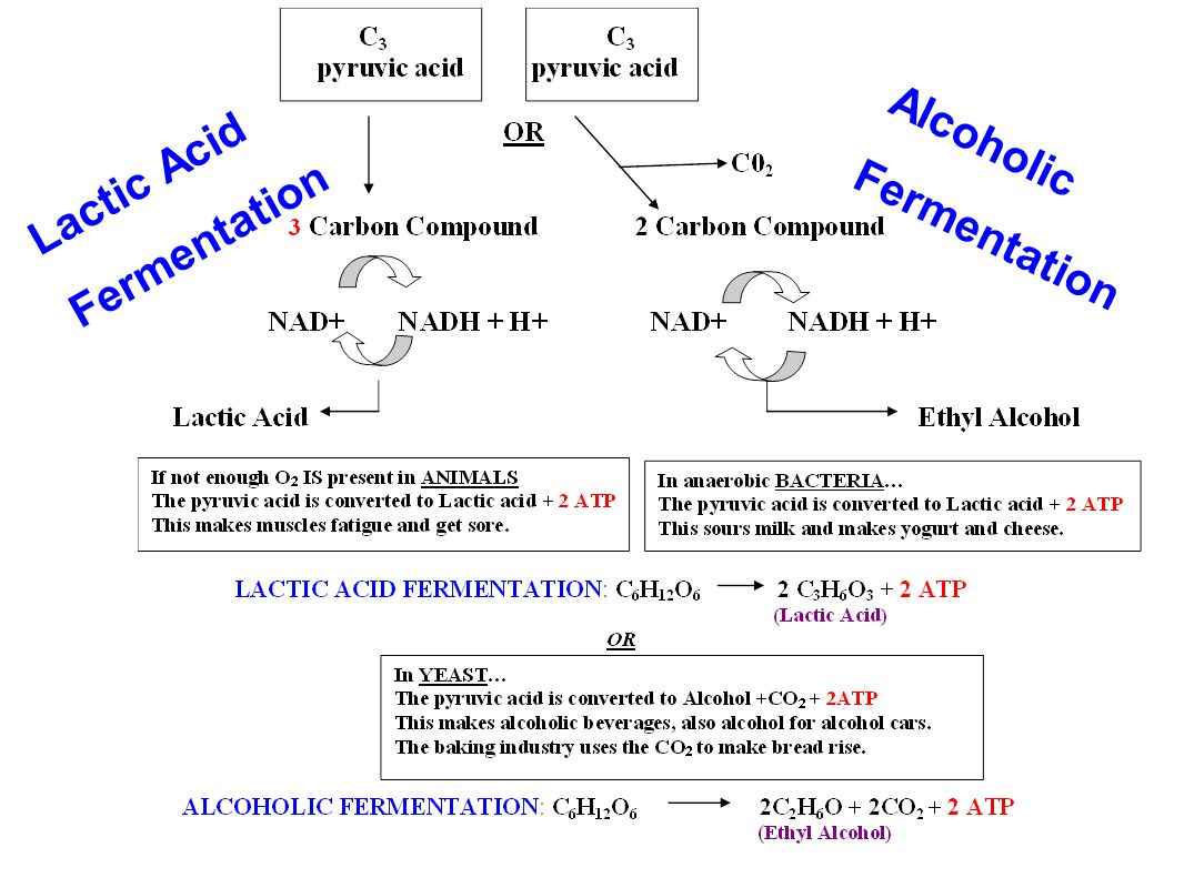 Lactic Acid Fermentation Alcoholic Fermentation