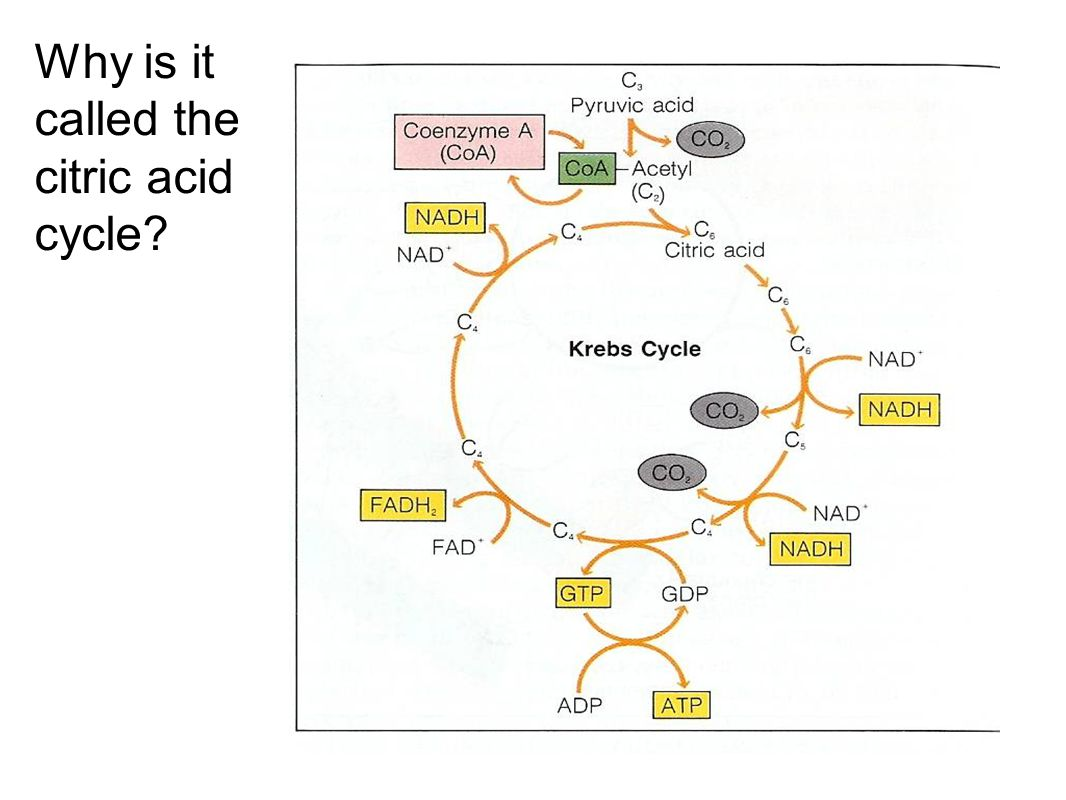 Why is it called the citric acid cycle