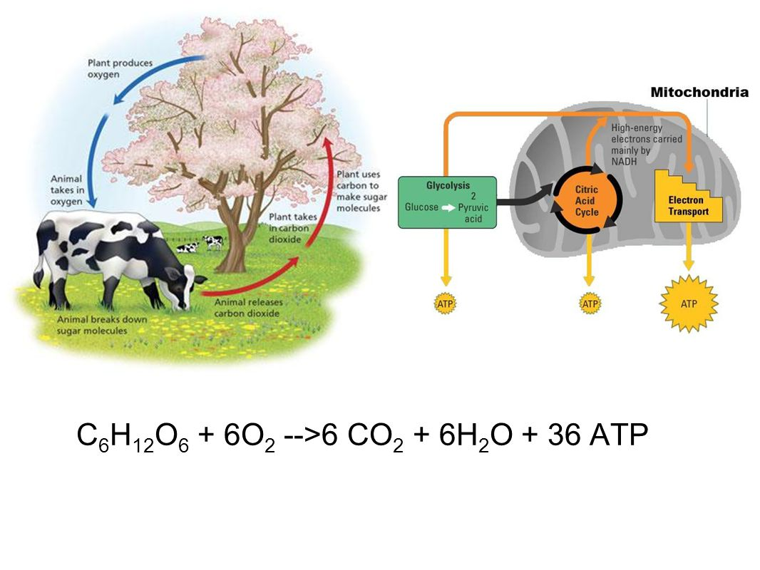 C6H12O6 + 6O2 -->6 CO2 + 6H2O + 36 ATP