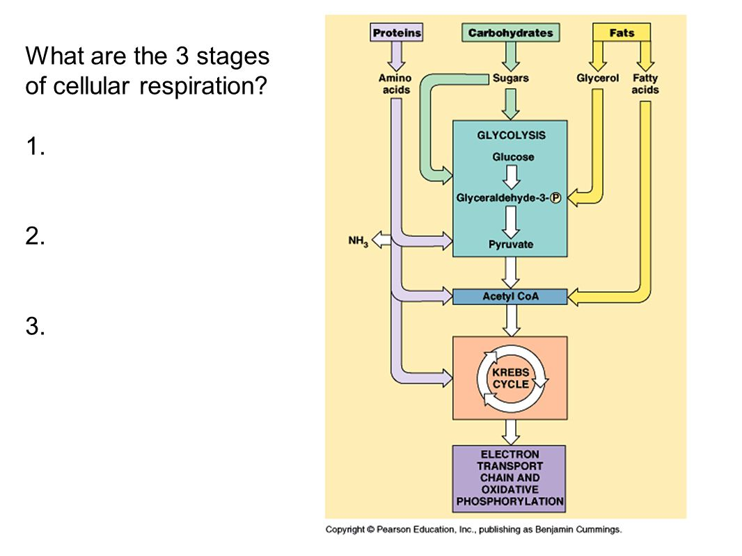 What are the 3 stages of cellular respiration
