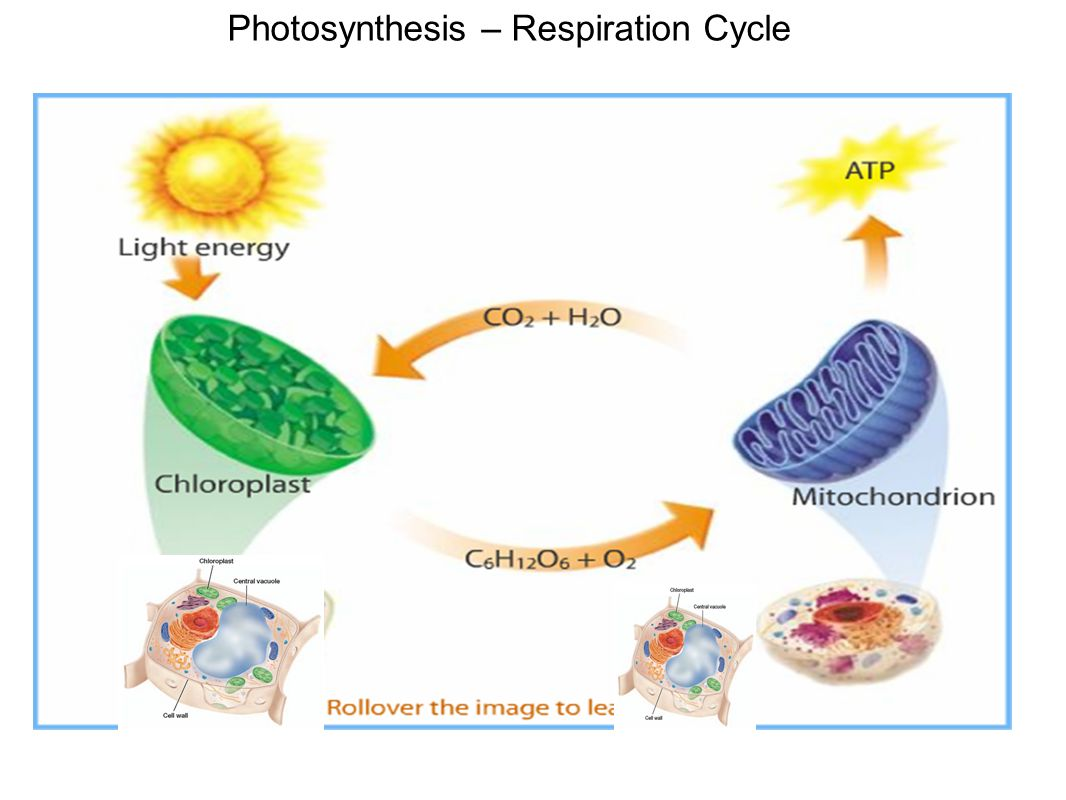 Photosynthesis – Respiration Cycle