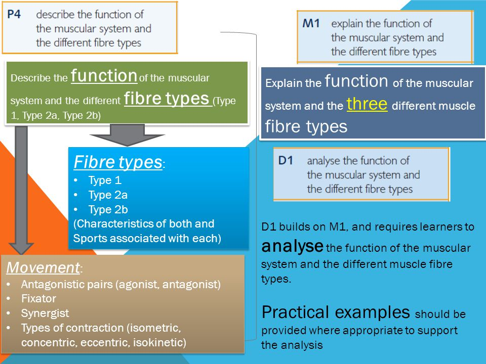 Describe the function of the muscular system and the different fibre types (Type 1, Type 2a, Type 2b)
