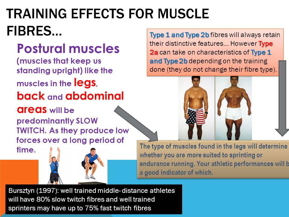 Training effects for muscle fibres…