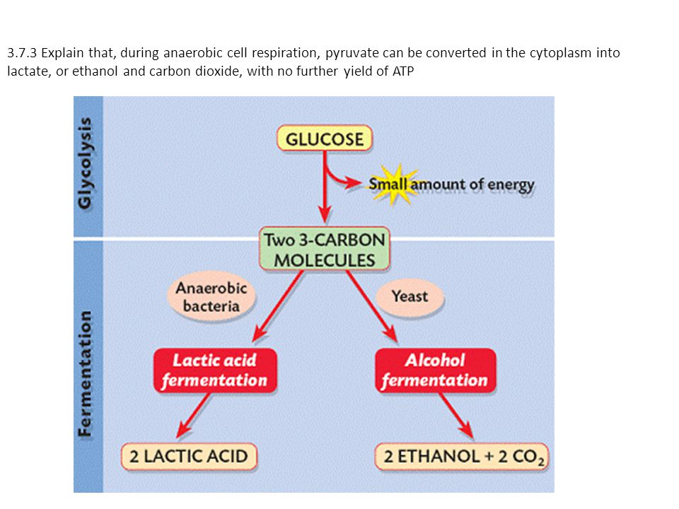 3.7.3 Explain that, during anaerobic cell respiration, pyruvate can be converted in the cytoplasm into lactate, or ethanol and carbon dioxide, with no further yield of ATP