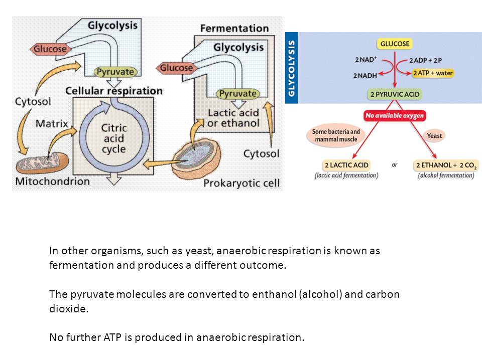 In other organisms, such as yeast, anaerobic respiration is known as fermentation and produces a different outcome.