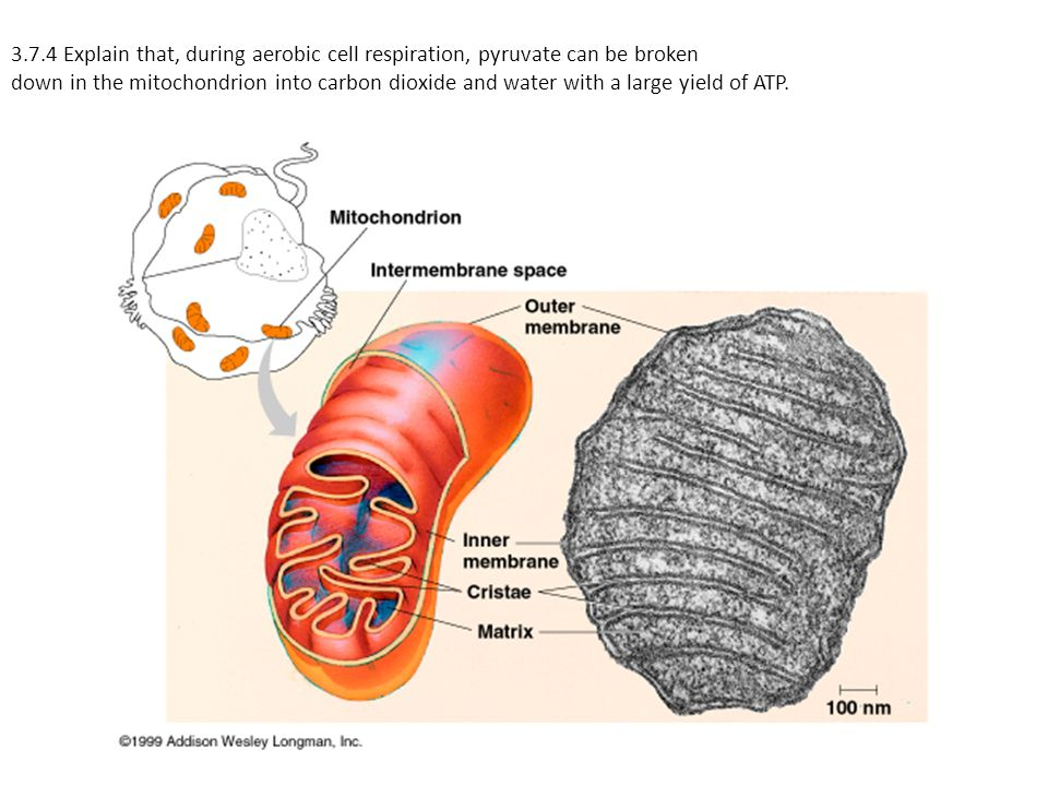 3.7.4 Explain that, during aerobic cell respiration, pyruvate can be broken down in the mitochondrion into carbon dioxide and water with a large yield of ATP.