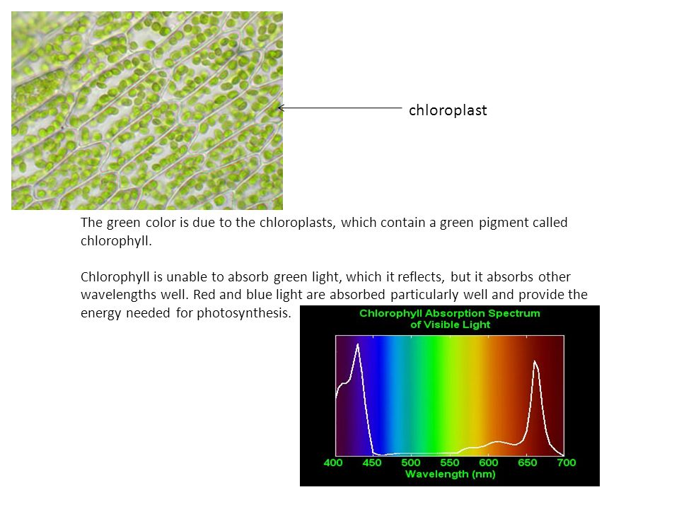 chloroplast The green color is due to the chloroplasts, which contain a green pigment called chlorophyll.