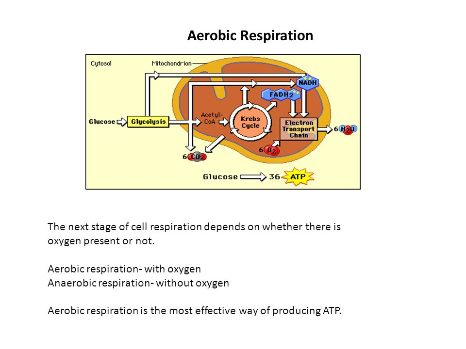 Aerobic Respiration The next stage of cell respiration depends on whether there is oxygen present or not.
