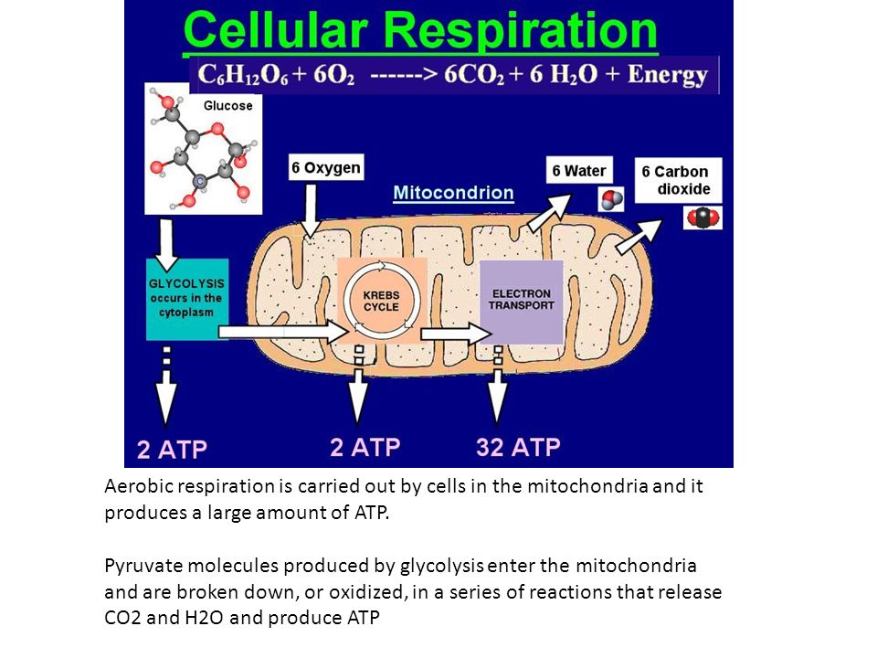 Aerobic respiration is carried out by cells in the mitochondria and it produces a large amount of ATP.
