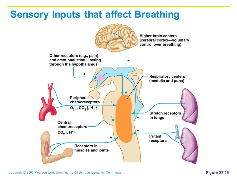 Sensory Inputs that affect Breathing