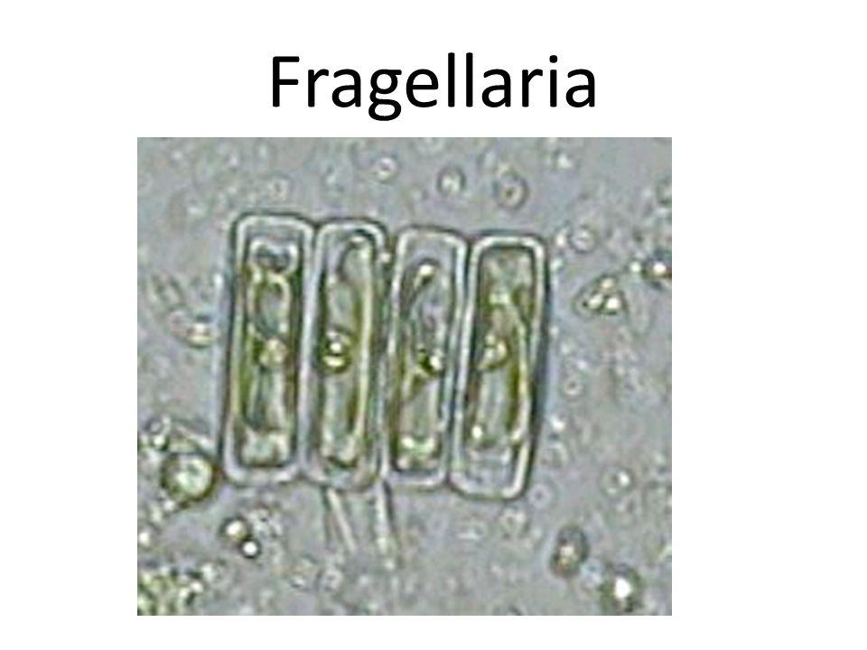 Fragellaria