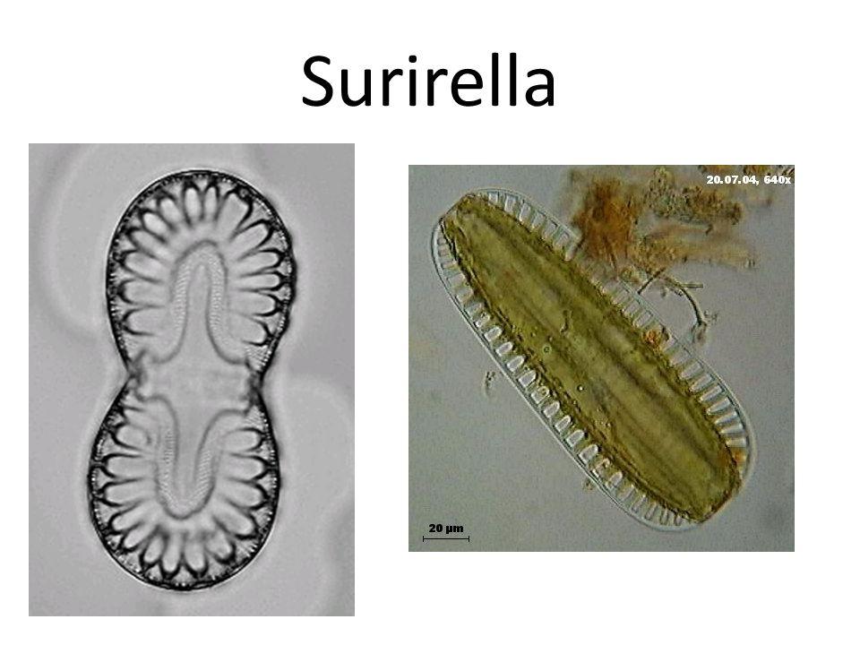 Surirella