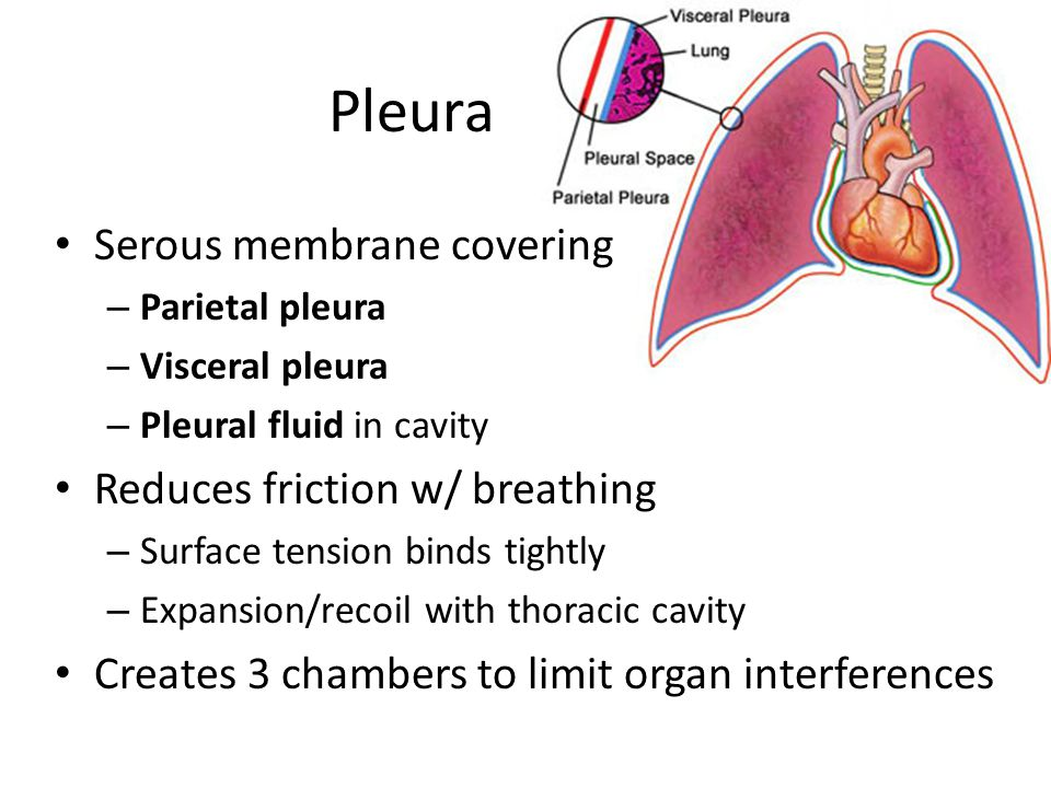 Pleura Serous membrane covering Reduces friction w/ breathing
