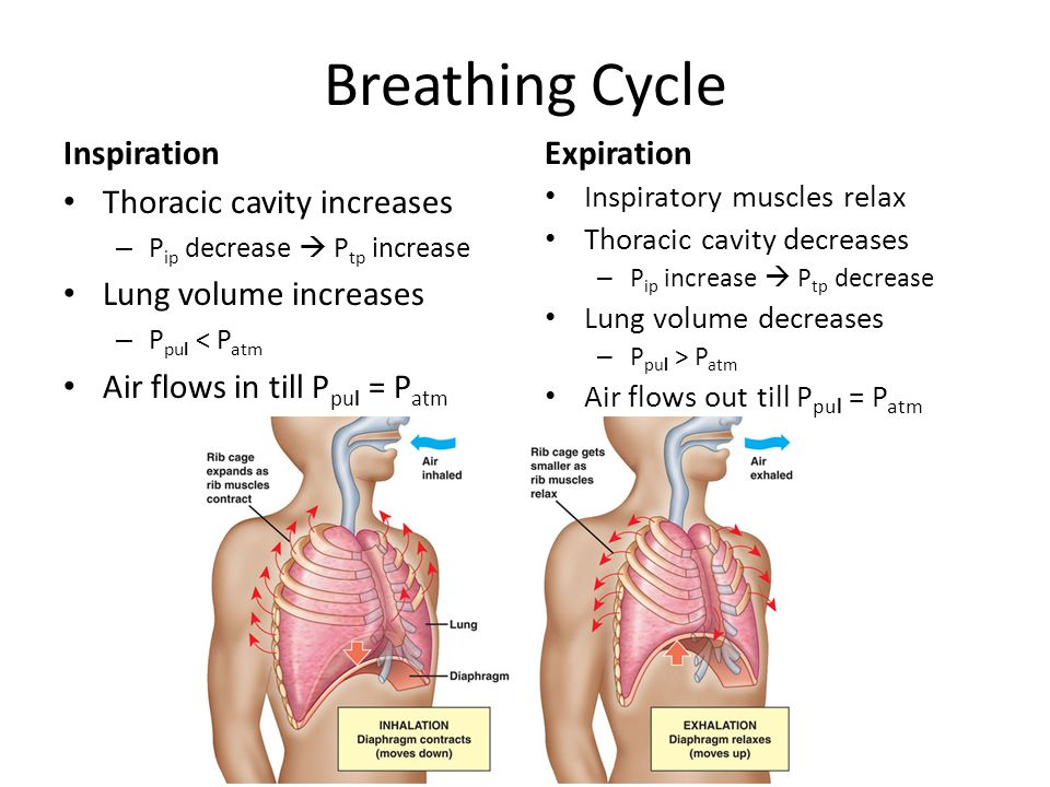 Breathing Cycle Inspiration Expiration Thoracic cavity increases