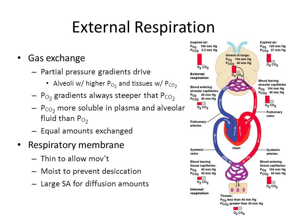 External Respiration Gas exchange Respiratory membrane