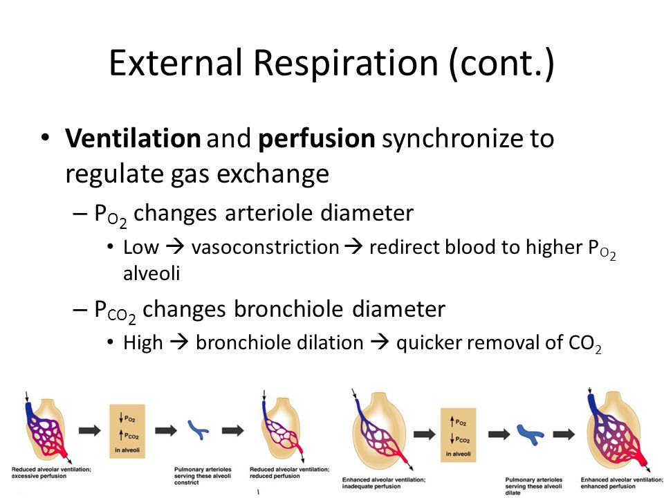External Respiration (cont.)