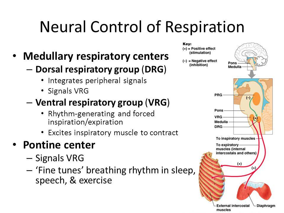 Neural Control of Respiration