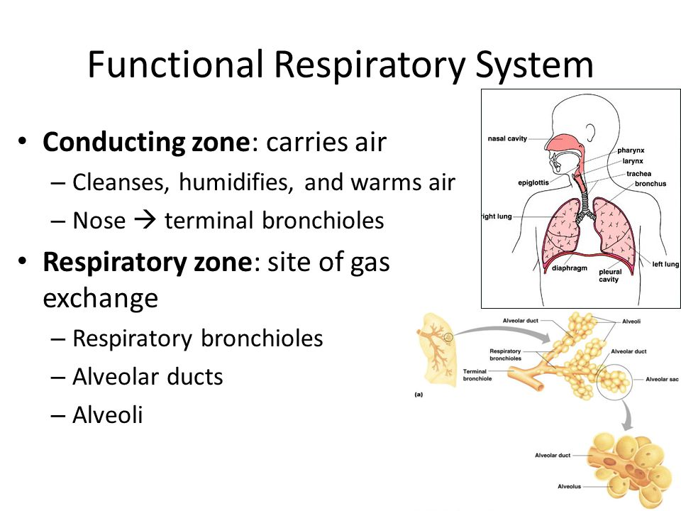 Functional Respiratory System