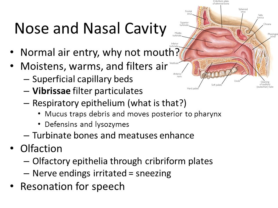 Nose and Nasal Cavity Normal air entry, why not mouth