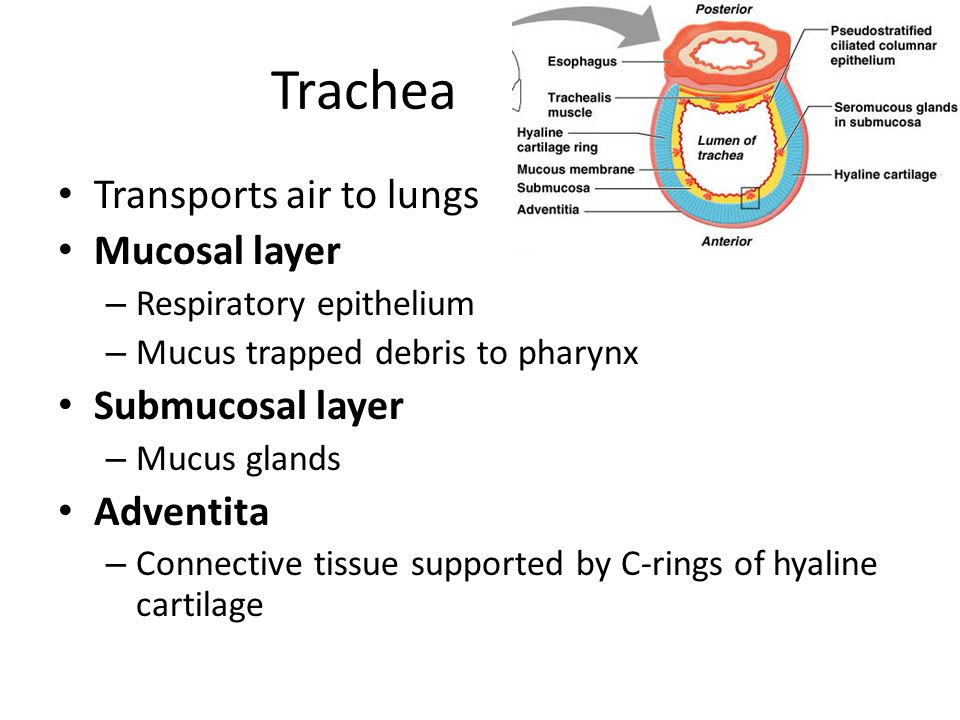 Trachea Transports air to lungs Mucosal layer Submucosal layer